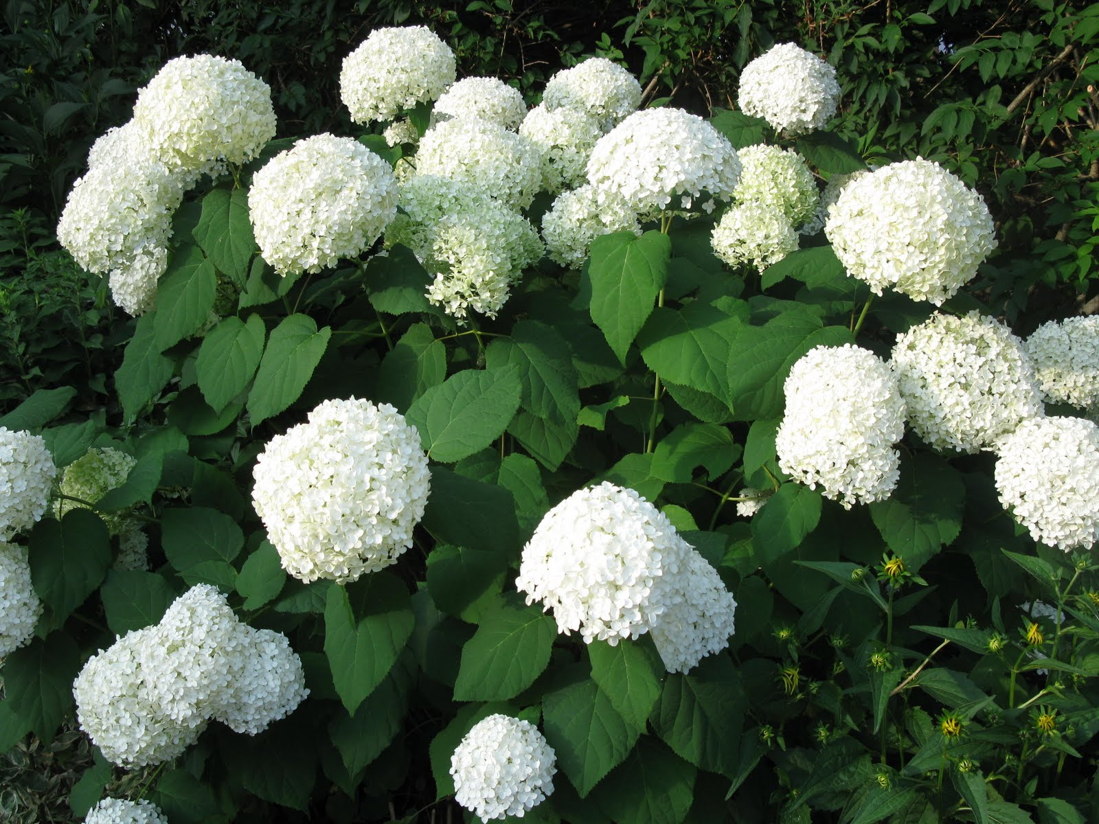 Hydrangeas Plant now for Instant Colour
