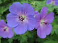 Plant of the Week: Hardy Geranium