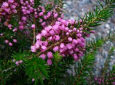 Plant of the Week: Erica vagans