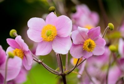 Garden plant of the moment: Anemone