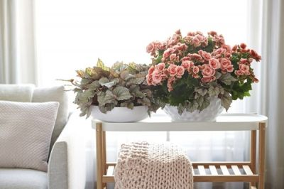 Houseplant of the month: Begonia