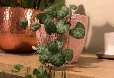 Top 5: Hanging Plants that are easy to look after