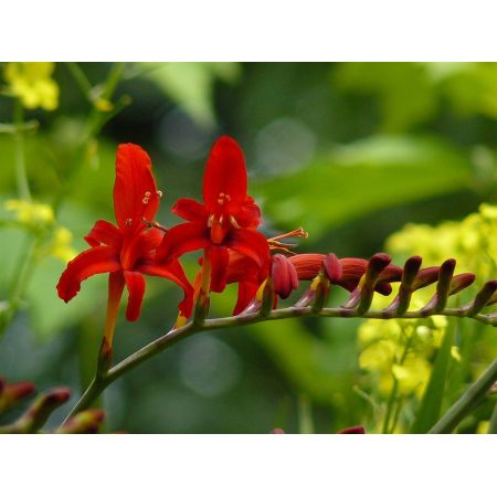 Crocosmia 'Lucifer' - 2L